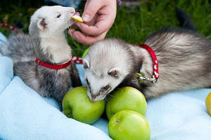 Хорьки едят яблоки