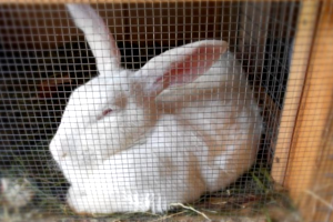 Большой кролик в клетке