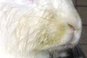 Симптомы стоматита кроликов
