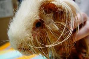 Псевдотуберкулез у морской свинки