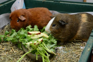 Две морские свинки едят траву