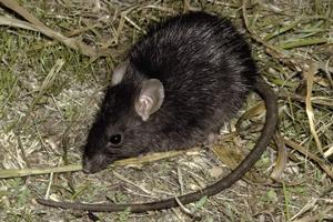Узнаем к чему может снится белая мышь. Сонник расскажет чего ожидать.
