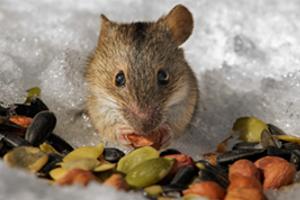 Чем кормить полевую мышь