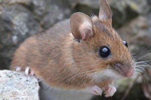 Заболевание от мышей к человеку