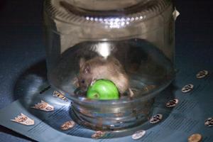 Как поймать мышь в доме и на улице?