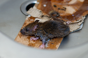 Что делать с пойманной мышью