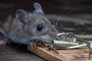 Приманка для мышей в мышеловке, что лучше положить 2019