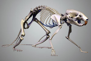 3d модель скелета мыши