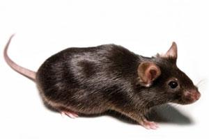 Коричневая мышь