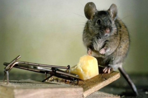 Как бороться с мышами в частном доме: борьба с мышами с гарантией