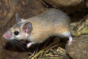 Иглистая мышь миролюбивый грызун