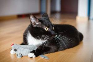 Кошка с игрушкой в лапах