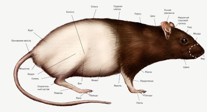 Схема строения крысы