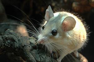 Белая мышь на дереве