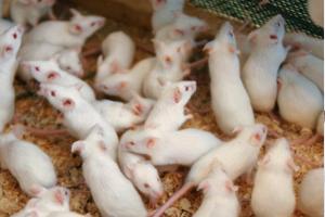 Мыши сколько живут в природу и в доме, мыши-долгожители
