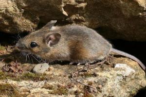 Лесная мышь, ее привычки и повадки 2019