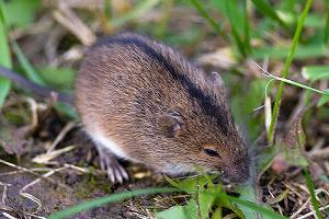 Чем мышь питается? Что едят мыши в природе?