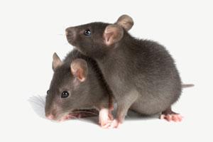 Две темно-серые мыши