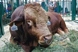 Содержание быков-производителей