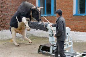 Эксплуатация быка-осеменителя