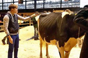 Бонитировка коровы