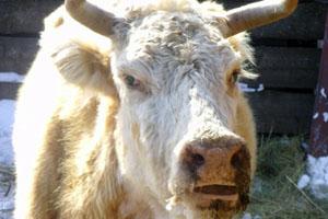Кашель у коровы