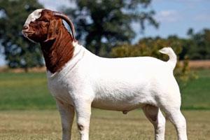 Бурский козел
