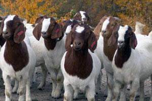 Молодняк бурских коз