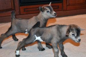 Карликовый молодняк коз