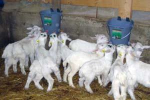 Рацион для козлят