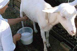 Дойка козы
