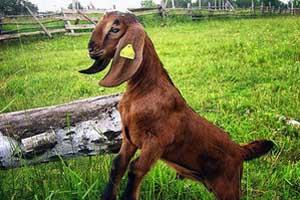 Нубийский козел