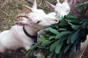 Кормленеи коз дома