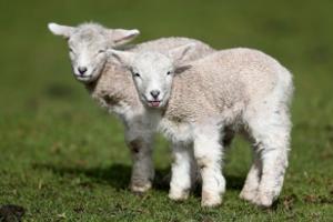Ребенок овцы