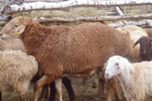 Эдельбаевские овцы характерные особенности породы