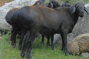 Курдючные овцы и бараны: описание с фото, содержание и разведение породы