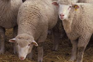 Описание овец Прекосы скороспелая мясо-шерстная порода