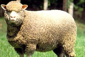 Эта овца много весит