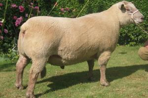 Хорошая масса овцы