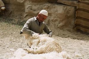 Процесс стрижки овцы