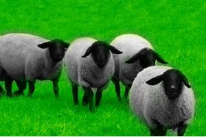 Овцы романовской породы – особенности содержания и разведения этих животных — Дачники Лайф