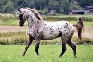 Аппалузская лошадь на лугу