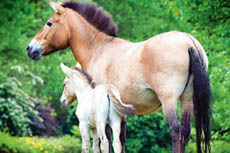 Дикая лошадь с жеребенком