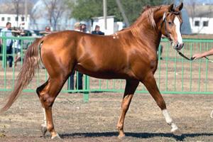 Фото донской лошади