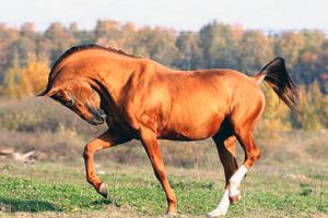 Скачет донская лошадь
