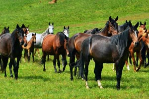 Стадо коней