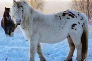 Якутская лошадь в снегах