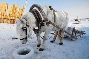 Якутская лошадь в упряжке