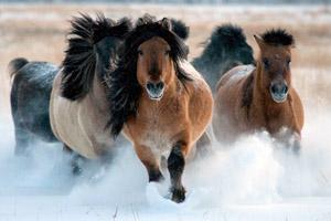 Табун якутских коней