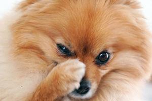 Собака чихает